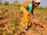 Cotton_picking_in_India